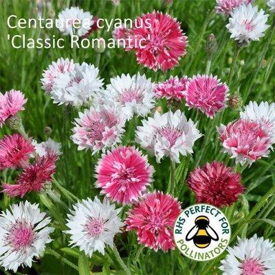 Centaurea cyanus 'Classic Romantic'