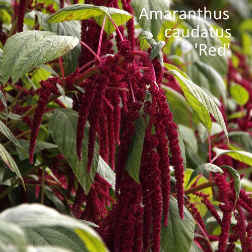 Amaranthus caudatus 'Red'
