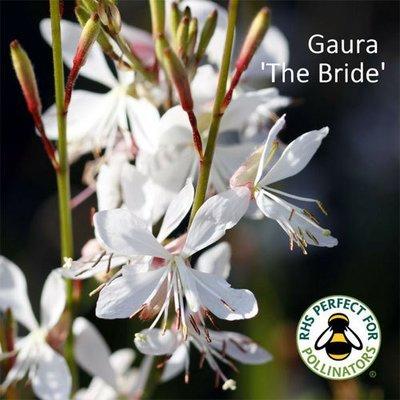 Gaura lindheimeri 'The Bride'