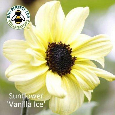 Helianthus 'Vanilla Ice'