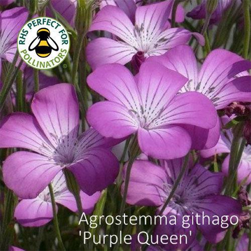 Agrostemma githago 'Purple Queen'