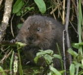 Water Vole Ecology and Surveying (Somerset): 31st July 2020