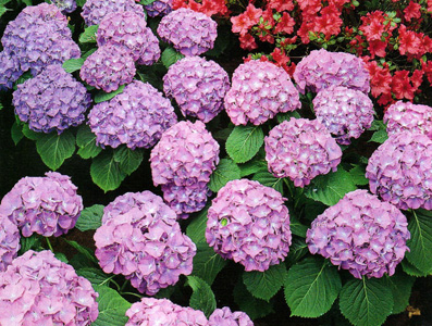 What are some pretty shade loving flowers   DpetalsSingapore Garden hydrangea