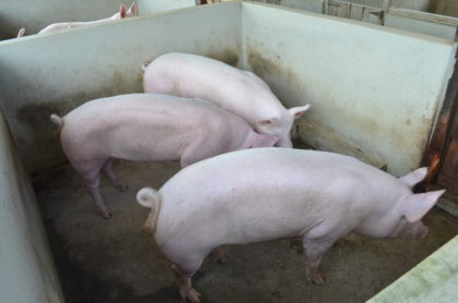 A few of the Toppig 40, pigs that were imported from Suriname for the Association
