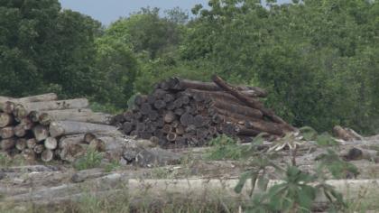 Upper Berbice Forest Producers' Association (UBFPA) logging in Kwakwani