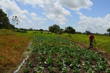 A sweet potato farm in Parika, Region Three