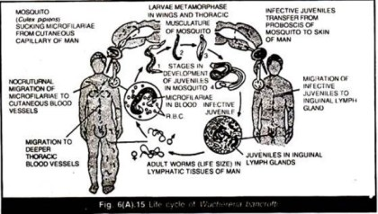 Cycle of being infected with filaria