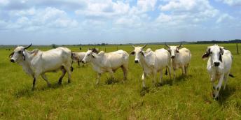 GLDA cattle in Ebini
