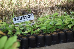 Soursop plants.