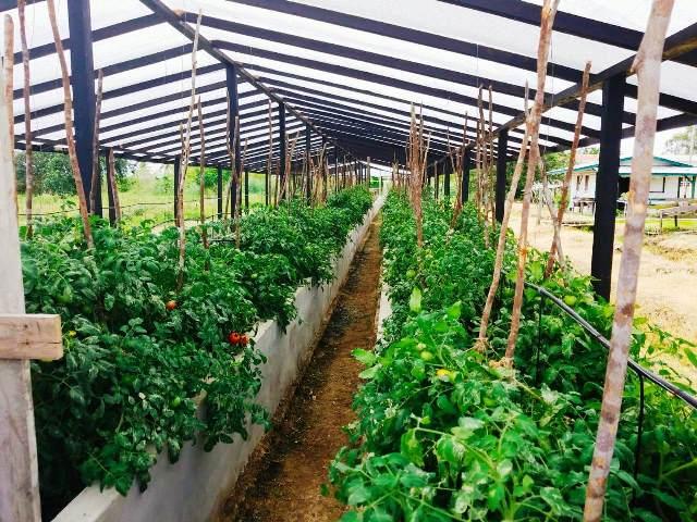 Tomato cultivation at GSA.