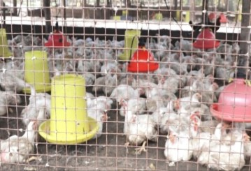 Some of the poultry being raised by Richard Owenkirk.