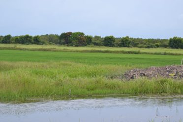 Lush rice fields in First Savannah which were reported to be flooded by certain sections of the media