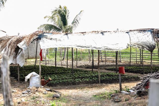 Beds of seedlings planted on Mr. Suresh Balkaran's farm between Dantzig and Fairfield, Mahaicony.