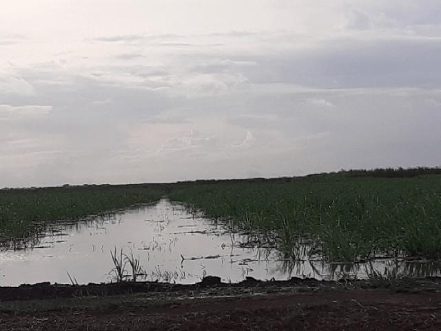 uitvlugt flood young cane plants