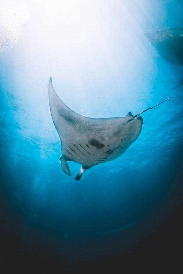 Mantas in Nusa Penida Island