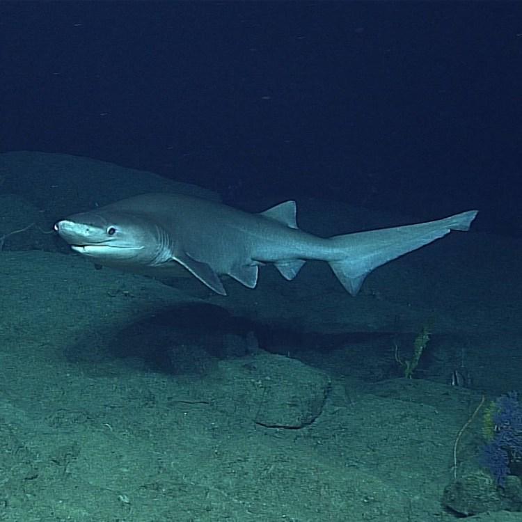 especies de tiburones: bluntnose