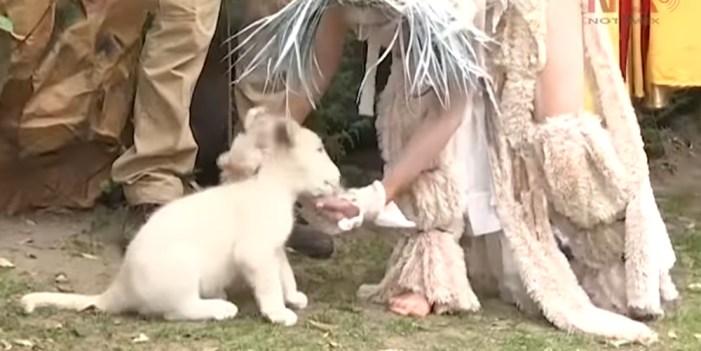 """Zoológico de Tlaxcala presenta a """"Nieve"""", la cuarta cría de león blanco"""