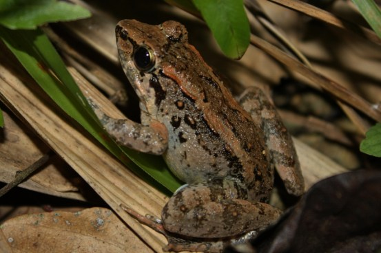 Philippine_Swamp_Frog_1