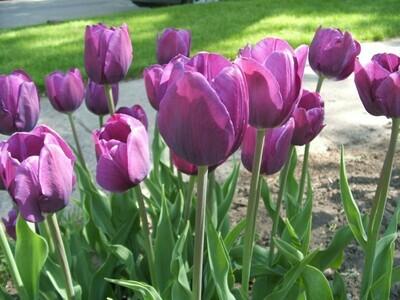 Purple Tulips (25 bulbs)