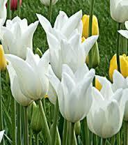 White Triumphator (10 Bulbs)