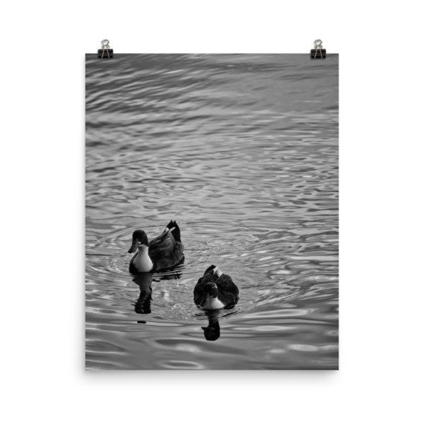 Ducks in Water Photo paper poster