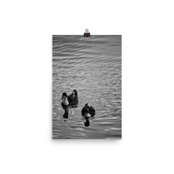 Ducks in Water Photo paper poster