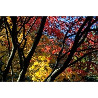 Phyllis McDaniel -- Kubota Garden Fall Colors