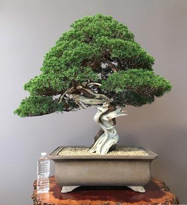 SHIMPAKU 'ITOIGAWA' JUNIPER -SOLD -