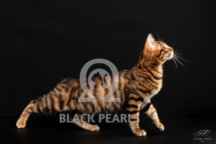 BLACK PEARLS OPAL  ♀ 201822001001
