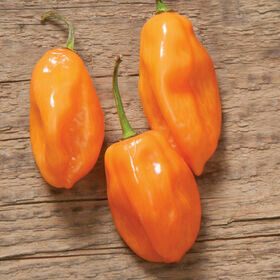 Habanero Pepper Plant