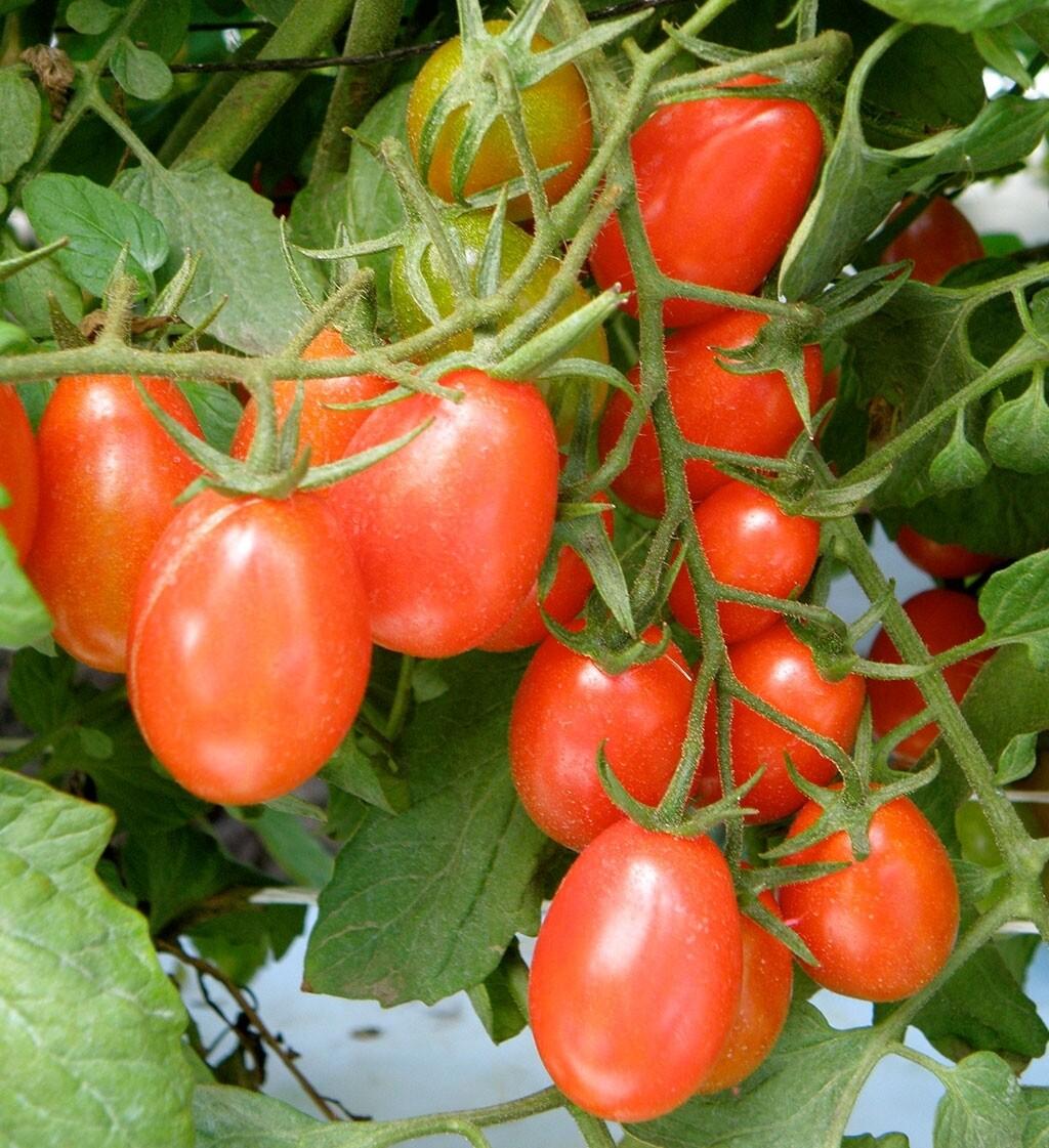 Grape Tomato plant gallon
