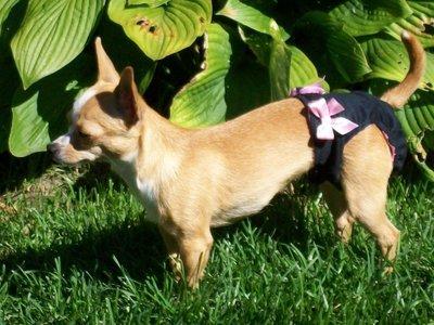 Couches culottes hygiéniques haut de gamme pour chiens femelles