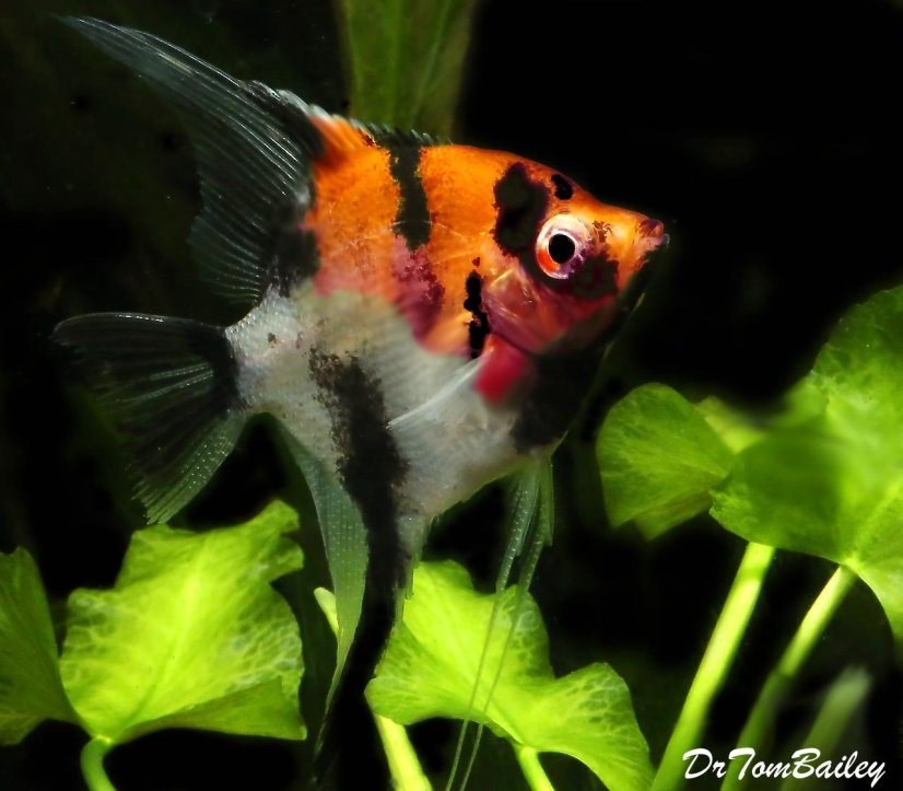 A colorful Angelfish