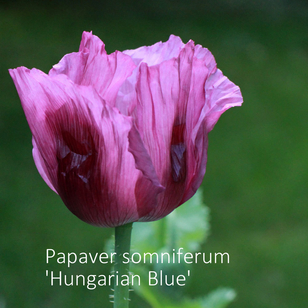 Papaver somniferum 'Hungarian Blue'