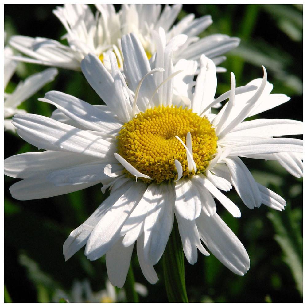 Leucanthemum 'Crazy Daisy'