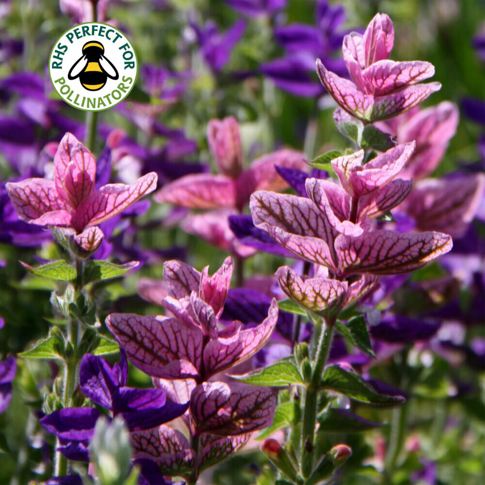 Salvia viridis Pink