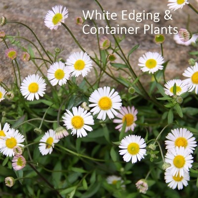 White Edge & Container Plants
