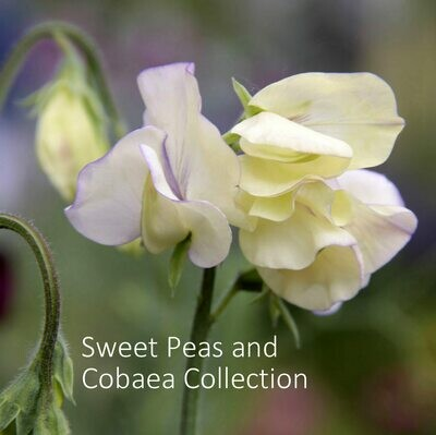 Cobaea & Sweet Peas Collection