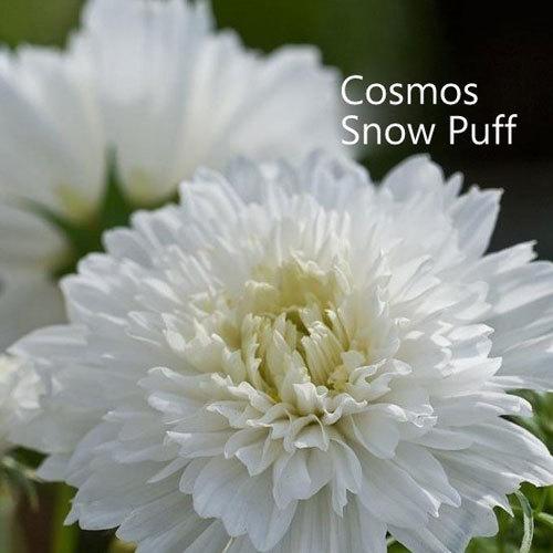 Cosmos Snow Puff 00051