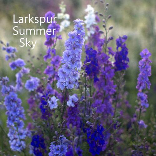 Larkspur 'Summer Sky' 00086
