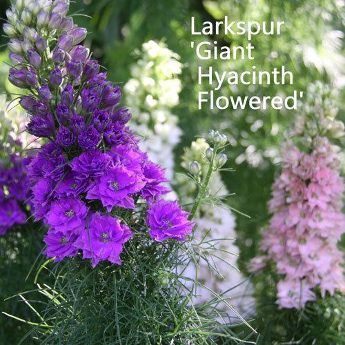 Larkspur 'Giant Hyacinth Flowered Mixed' 00010