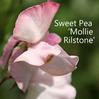 Sweet Pea 'Mollie Rilstone' 00094