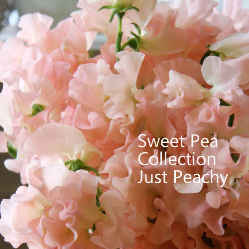 Sweet Pea Collection 'Just Peachy' 00121