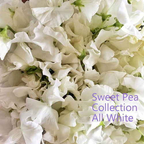 Sweet Pea Collection 'All White' 00118