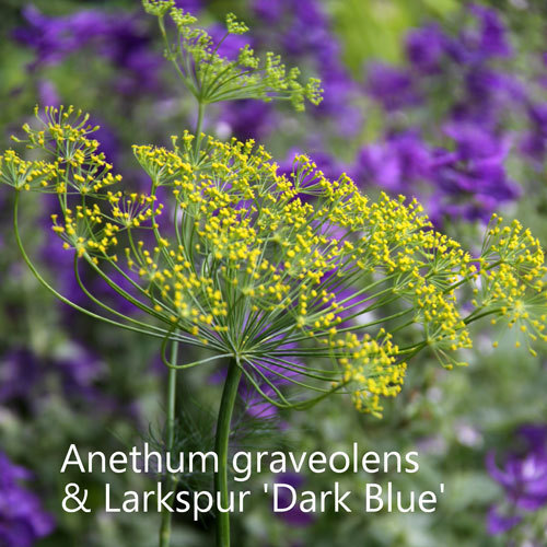 Larkspur Dark Blue & Dill