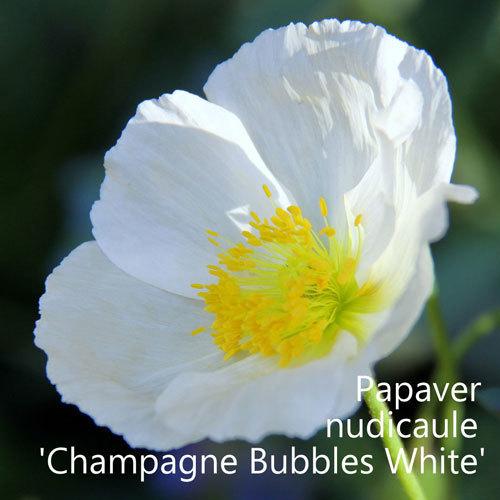 Papaver nudicaule 'Champagne Bubbles White' 00078