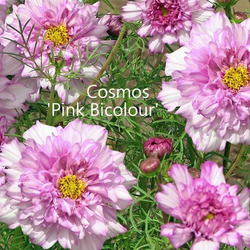 Cosmos 'Bicolour Pink' 00154