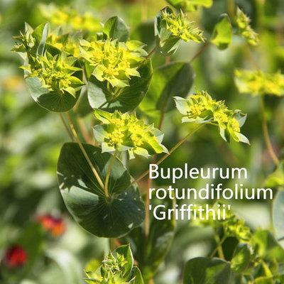 Bupleurum rotundifolium Griffithii