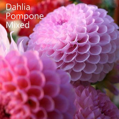 Dahlia Pompone Mixed