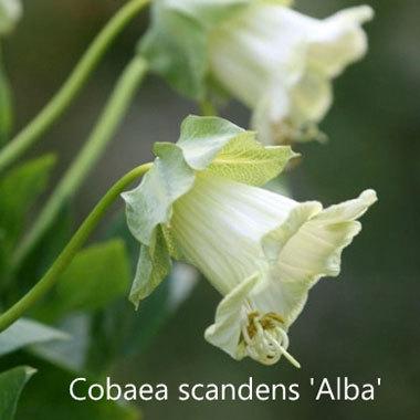 Cobaea scandens 'Alba'